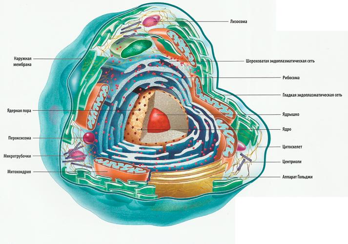 человека. клетка схема