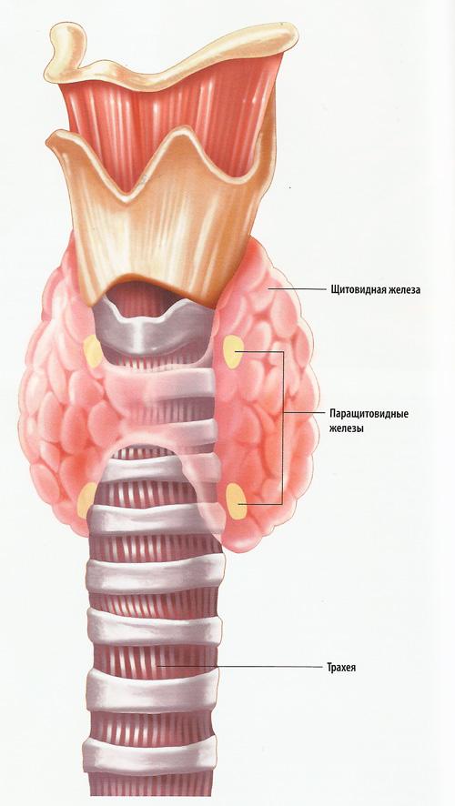 Гормоны гипофиза оказывают влияние на множество органов