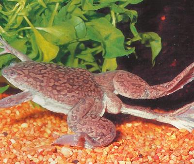 Лягушка-урод фото