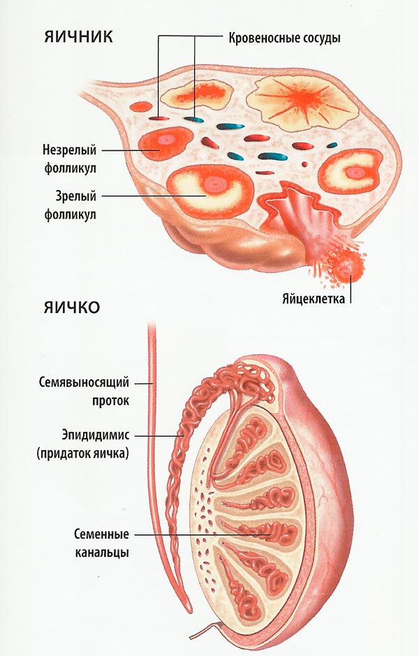 Яичники и яички схема