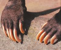 когти медведя фото