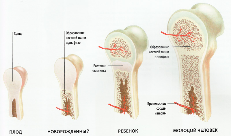 схема формирование костей