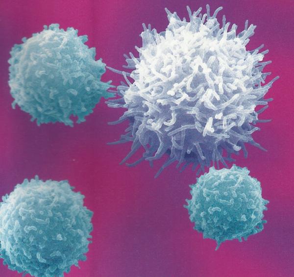 Лимфоциты фото