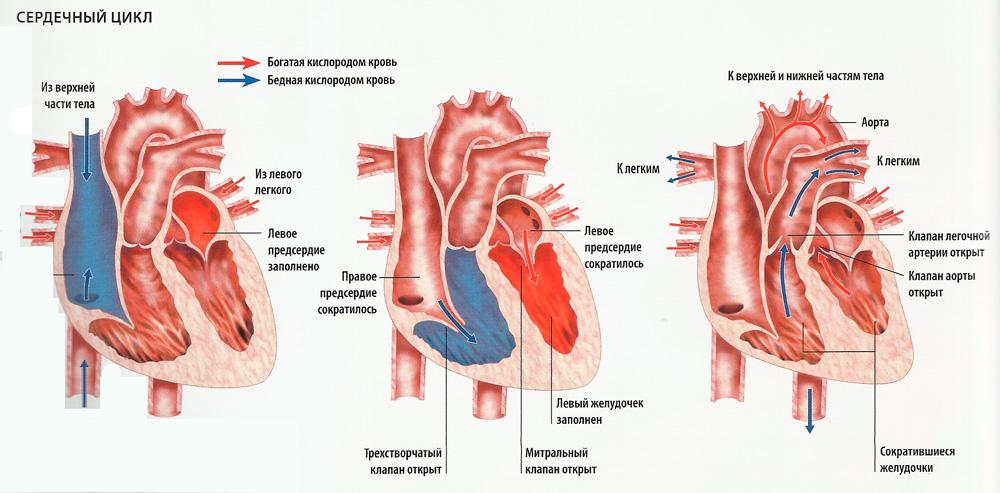 сердечный цикл схема