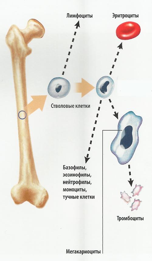 стволовые клетки схема