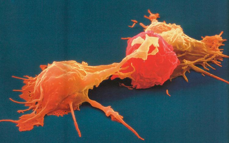 клетки киллеры фото