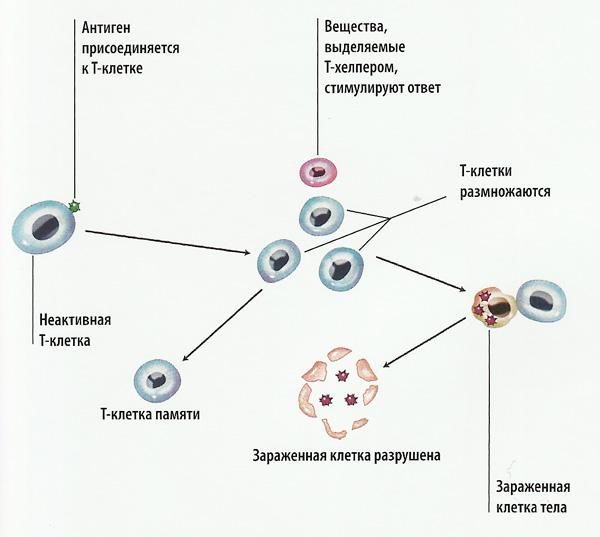 T-киллеры схема