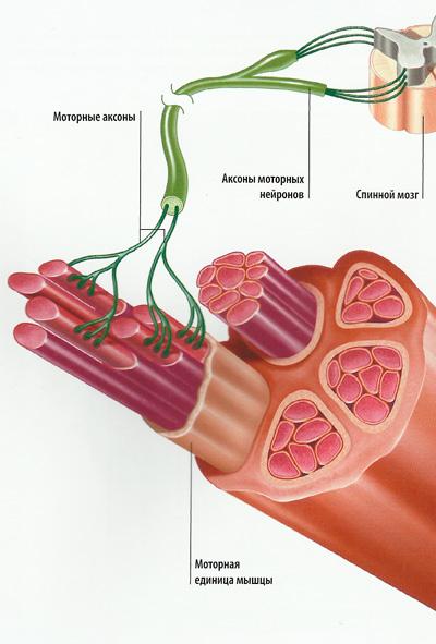 работа мышц с нейронами