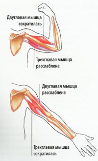 строение мышц плеча схема
