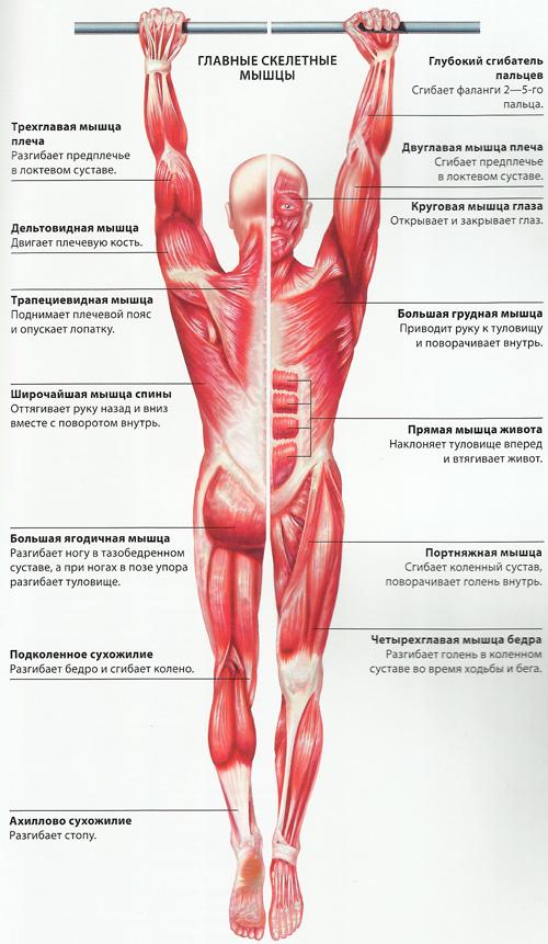 Схема скелетных мышц