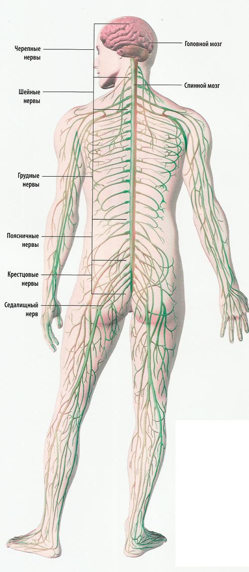 система нервов