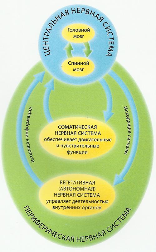 Нервные импульсы схема