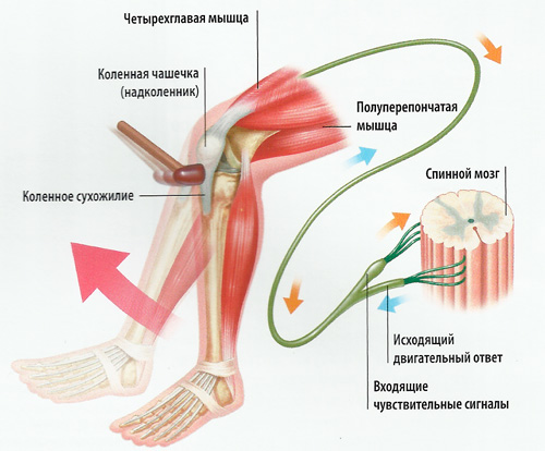 нога схема