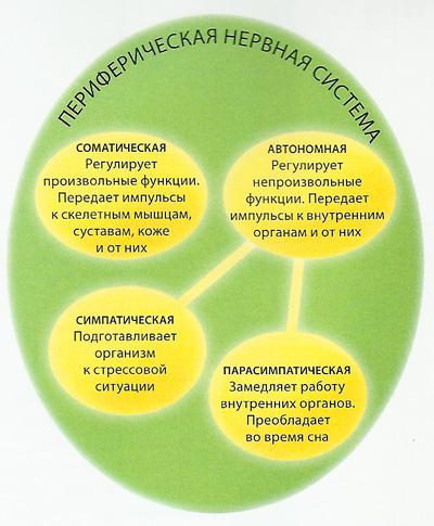 нервная система схема