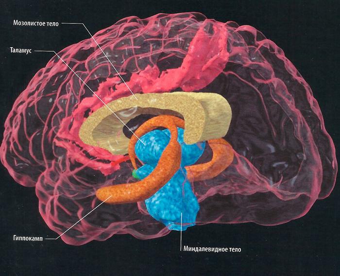 строение головного мозга человека схема