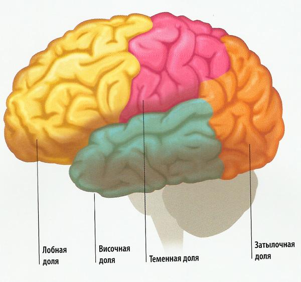 оли больших полушарий головного мозга