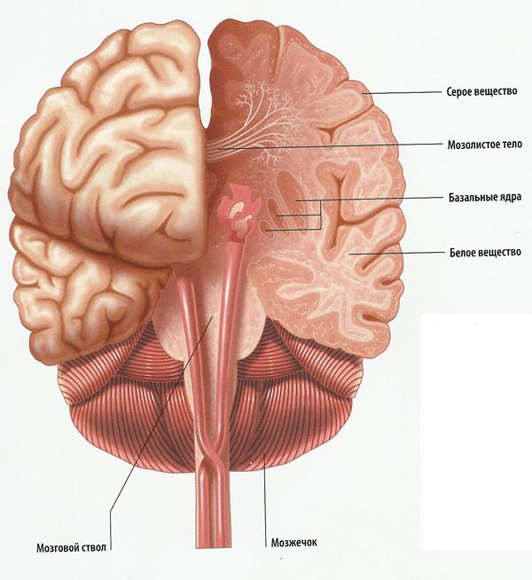 разрез «мыслящего мозга» — коры