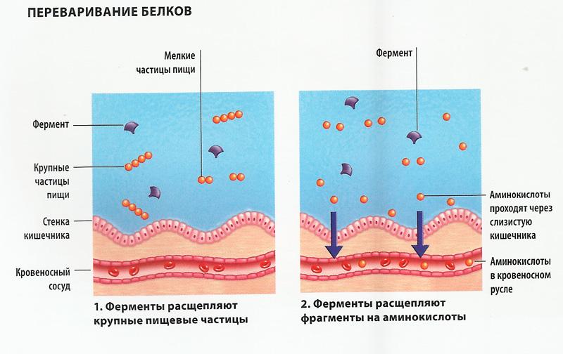 Расщепление белка схема