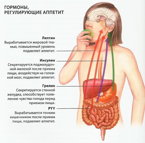 Гормоны регулирующие чувство голода и аппетита