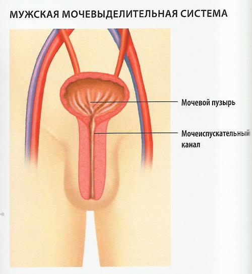 мочевыделительная система схема