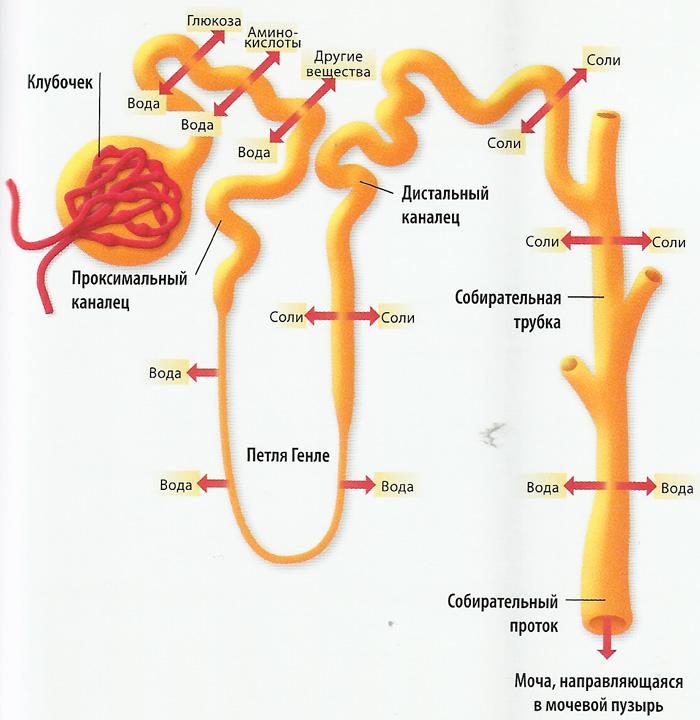 U-образный извиток канальца нефрона