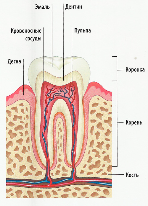 разрез  зуба