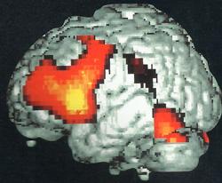 схема коры головного мозга