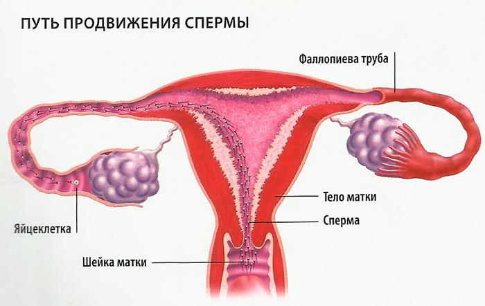 Внутри женского влагалища сперматозоиды способны жить не более