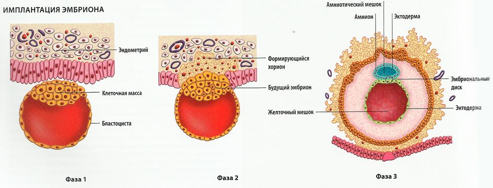 имплантации эмбриона схема