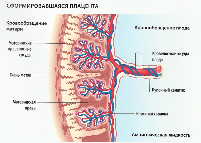 плацента схема