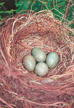 Птичьи яйца фото