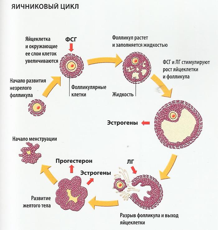 Яичниковый цикл схема