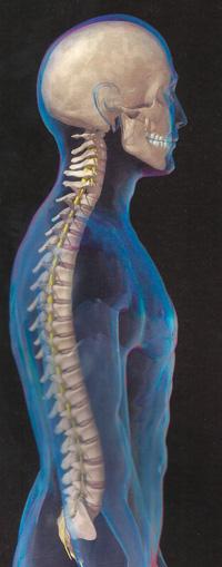 строение костей скелета