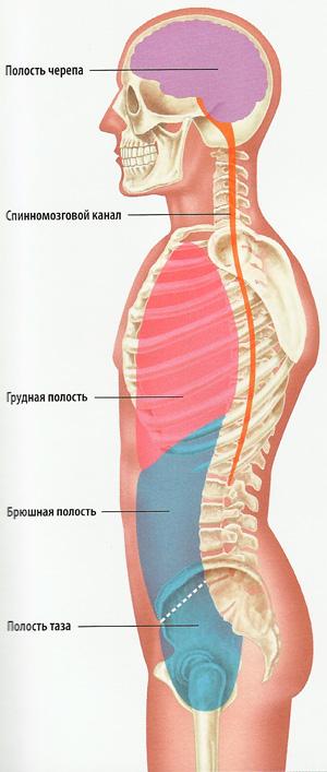 полости тела