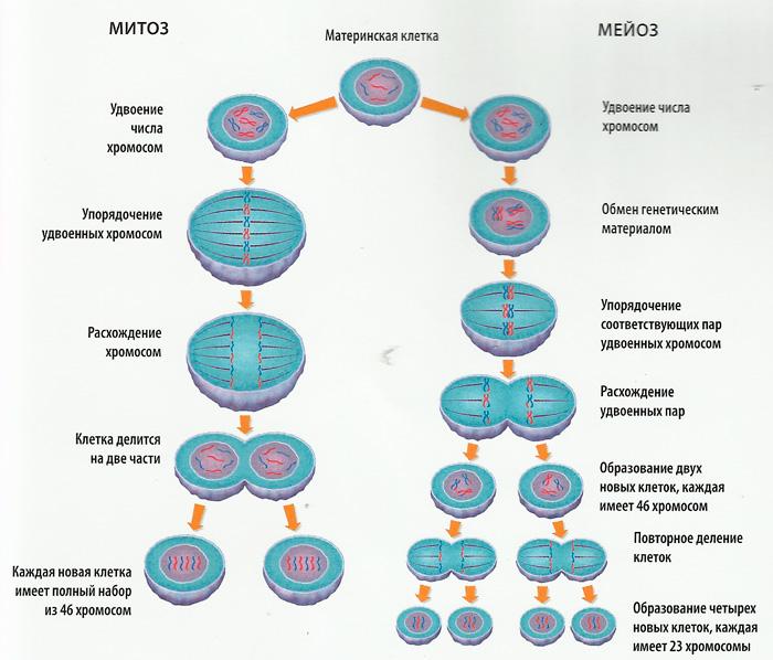 Процесс деления клетки.