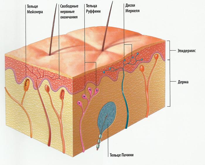 кожа схема