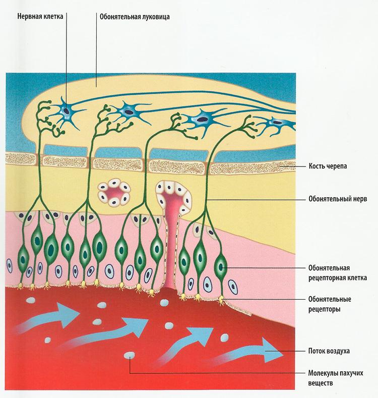 рецепторные клетки схема