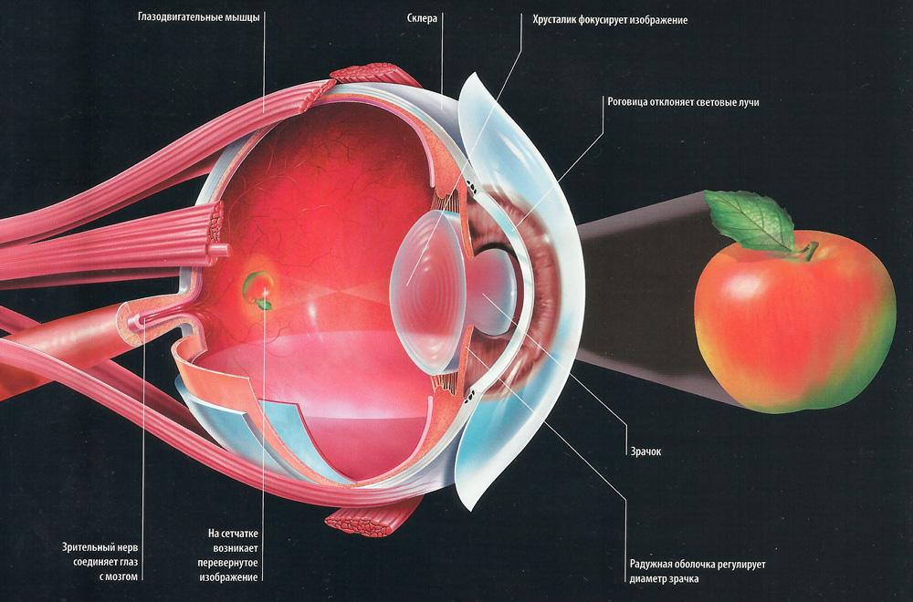 глаз схема