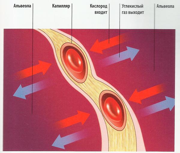 схема окисления в тканях