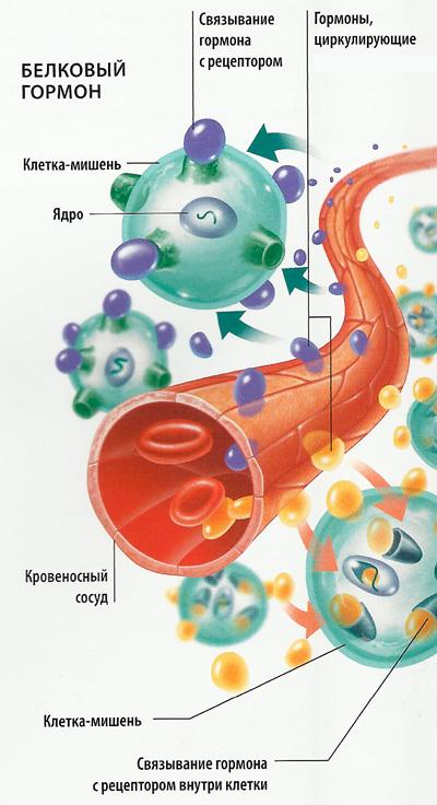 белковый гормон схема